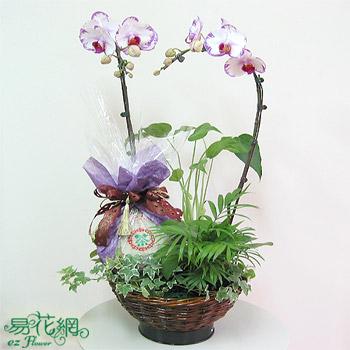 白花鑲紅邊蝴蝶蘭+雲南七子餅茶普洱茶父親節禮品