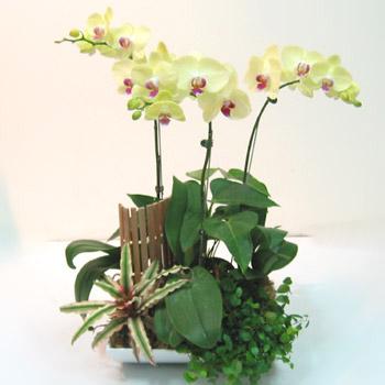 黃花蝴蝶蘭創意組合盆栽