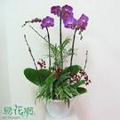 紅花蝴蝶蘭組合盆栽