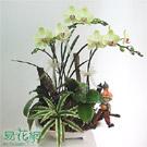 黃花紅心蝴蝶蘭組合盆栽
