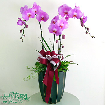 精選紅花蝴蝶蘭組合盆栽