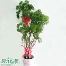 福錄桐組合盆栽