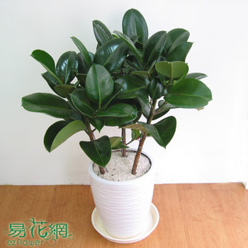 印度橡膠樹盆栽