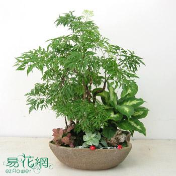 福祿桐組合盆栽